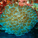 Waminoa flatworms in bubble coral