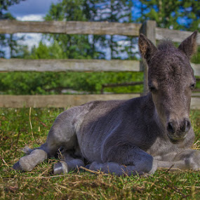 Lazy Day by Gerard Toney - Animals Horses ( miniature horse, paddock, colt, horse, animal, foal )