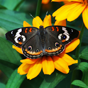 such a beauty by Sharon Scholtes - Animals Insects & Spiders ( orange, butterfly, green, common buckeye, yellow, flowers, eyes )