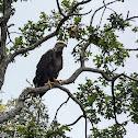 American Bald Eagle (Juvenile)