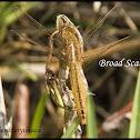Broad Scarlet