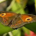 orange bush-brown butterfly