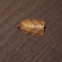 Oblique-banded Leafroller