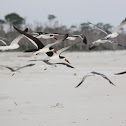 Black Skimmers (with Laughing Gulls)