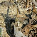 Southern Skimmer ♀ (λιβελούλη)