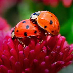 Ladybirds mating by Nizam Akanjee - Animals Insects & Spiders ( reproduce, male grips, lady bird, ladybirds, ladybugs, sexually, female from behind,  )