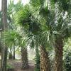 Texas Sabel Palm Tree