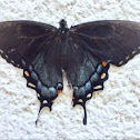 Eastern Tiger Swallowtail (Dark Phase)