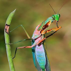 Stylish by Joel  Pangoe Rihingan - Animals Insects & Spiders (  )