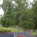 White birchwood tree