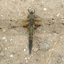 Four-spotted Skimmer- Dragonfly