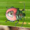 Harlequin bug nymph?