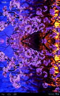 Evening Sakura at a Kyoto Pond - náhled