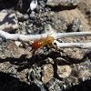 Desert Termite