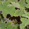 Scented Geranium ( Chocolate Mint)