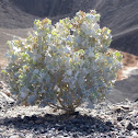 Desert Holly