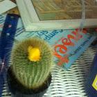Cactus strawflower