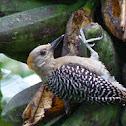 Hoffmann's woodpecker (juvenile)