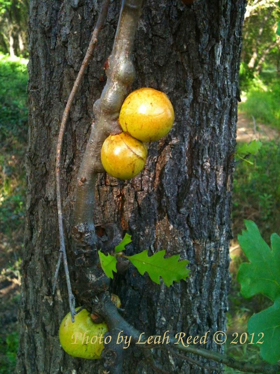 Oak Apple (Oak Gall)