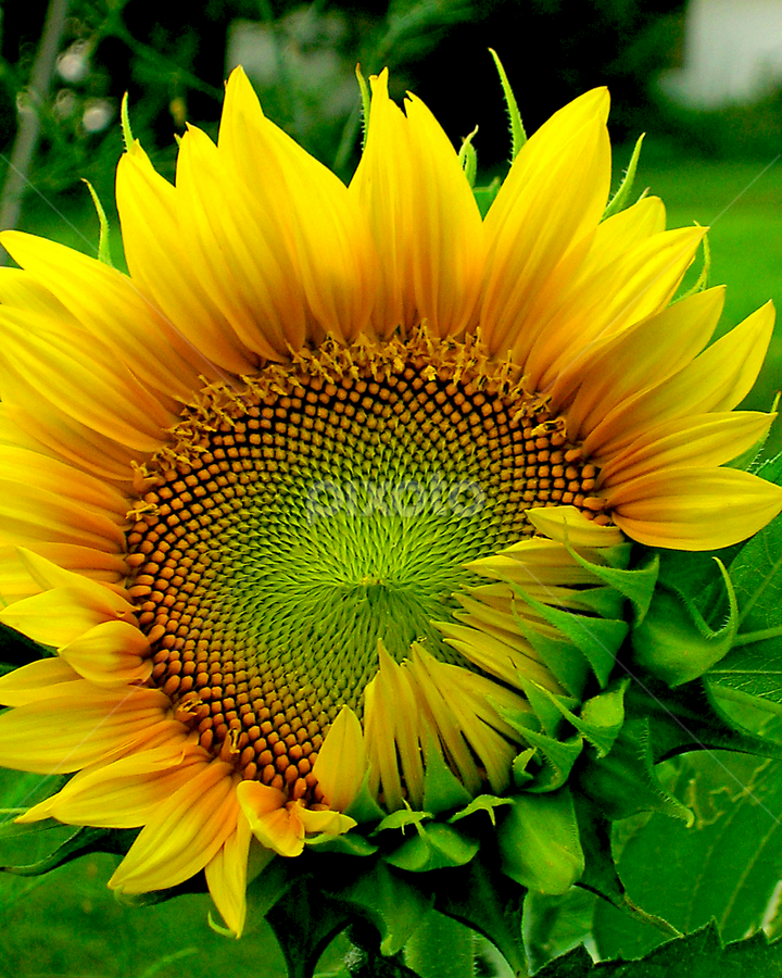 Awakening by Jane Spencer - Flowers Single Flower ( awakening, opening, summer, sunflower, garden,  )