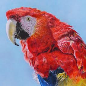 GUACAMAYO by Kile Zabala - Drawing All Drawing ( aves, color, guacamayo, dibujo, lápiz, animales )