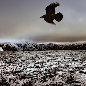 Raven over highland by Kristján Karlsson - Animals Birds ( icelandic, raven, mountains, winter, rugged )