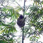 Pale Three-toed Sloth