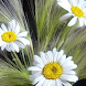 Shimmering Daisy LWP