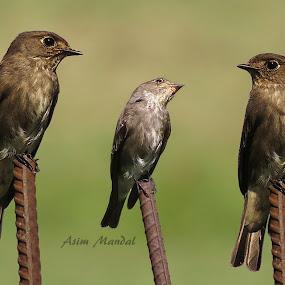 Dark Sided Flycatcher by Asim Mandal - Animals Birds