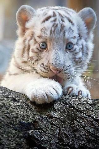 Cute Tiger& Animals Photos - screenshot