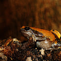 Triangular Spotted Frog