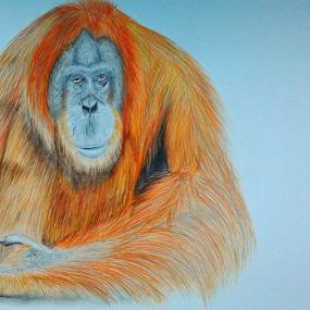 Save Him. by Paul Murray - Drawing All Drawing ( orangutan, colored pencils, drawing, animal, pencils )