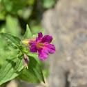 Red Monkeyflower