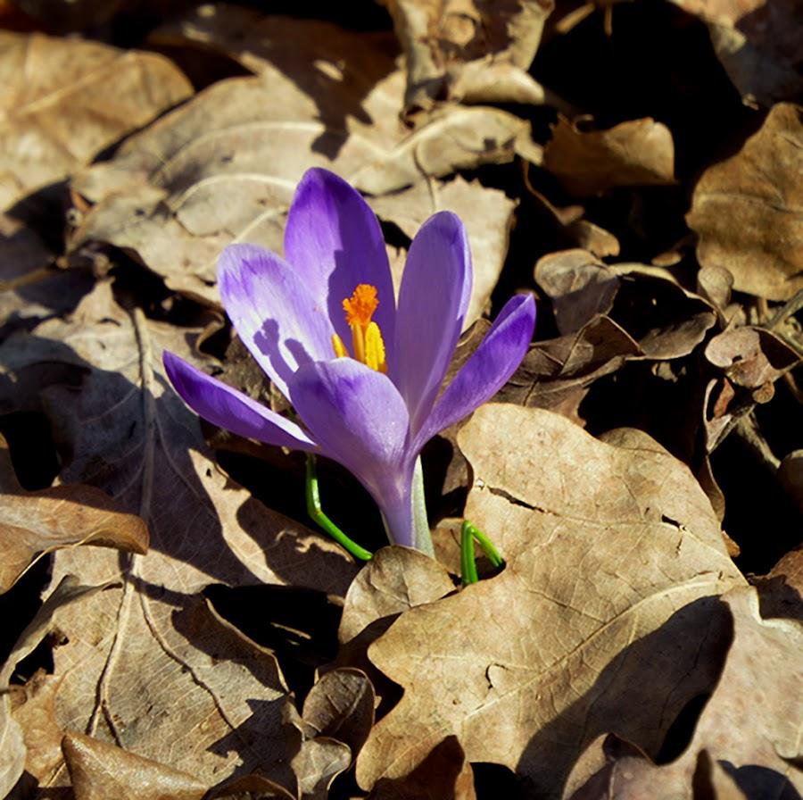 šafran se uspio probiti kroz prošlogodišnje lišće. Stiglo je proljeće. by Katica Pecigoš-Kljuković - Flowers Flowers in the Wild ( rano proljeće u maksimiru )