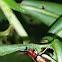 Red-headed Bush Cricket