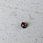 Cactus Lady Beetle