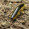 Yellow-and-black flat millipede