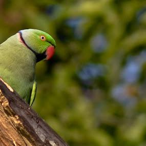 A Rose-ringed Parakeet by Amit Naskar - Animals Birds