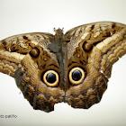 Oileus Owl-Butterfly