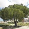 Pino piñonero. Stone pine