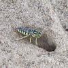 Sand wasp / Horse guard wasp