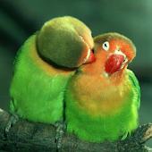 Papağanlar Duvar Kağıtları