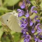Small White Butterfly a.k.a Cabbage White