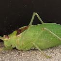Common True Katydid