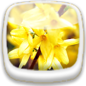 Spring Forsythia ★Wallpaper 02
