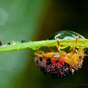 ladybug and dew by Septyan Lestariningrum - Animals Insects & Spiders