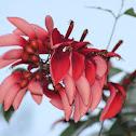 Flor de Ceibo