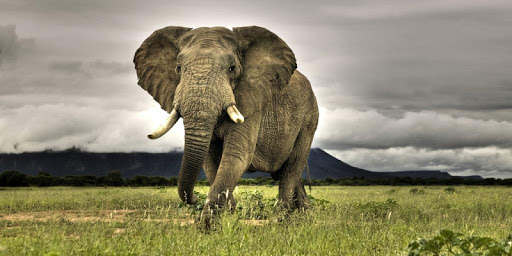 Elephants Live Wallpaper