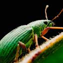 Green Immigrant Leaf Weevil