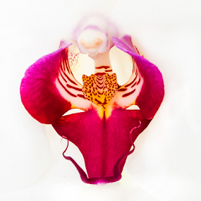 White phalaenopsis detail by Ian Damerell - Flowers Single Flower ( macro, orchid, single flower, flora, phalaenopsis )
